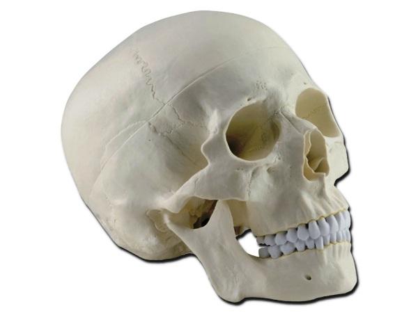 cranioumano40160