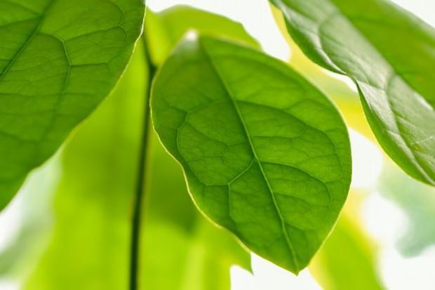 Questa immagine ha l'attributo alt vuoto; il nome del file è avocado-leaves-4345166_640-e1571820584965.jpg