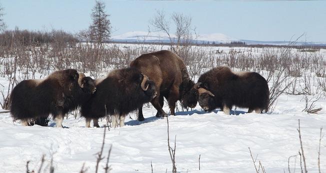 Questa immagine ha l'attributo alt vuoto; il nome del file è cavalli-e-bisonti-1.jpg