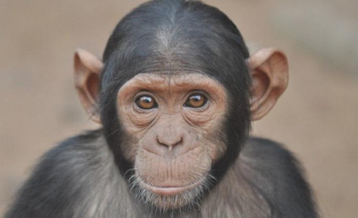Questa immagine ha l'attributo alt vuoto; il nome del file è Scimpanzè.jpg